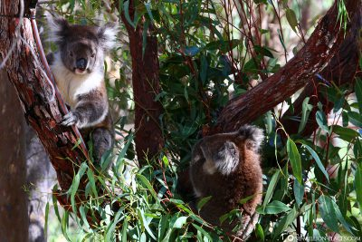 Koalas im Yanchep Nationalpark