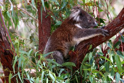 Koala im Yanchep Nationalpark