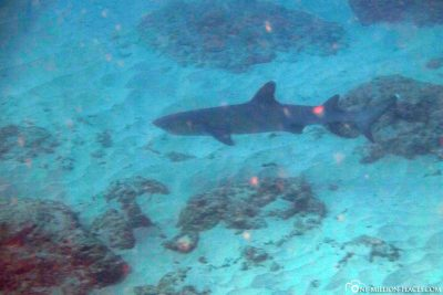A shark at the Muiron Islands