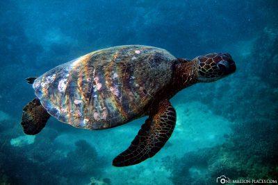 Eine Schildkröte beim schnorcheln