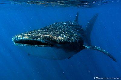 A whale shark