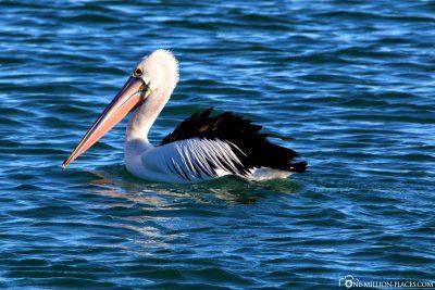 Ein Pelikan auf dem Wasser