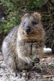 A Quokka on Rottnest Island