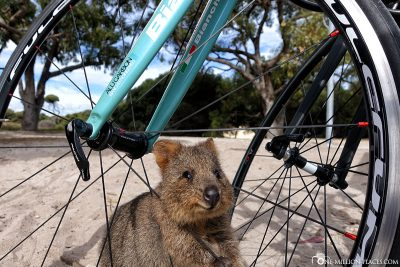 A Quokka on our bike