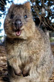 The sweet quokkas
