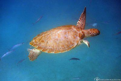 Die Schildkröten in der Carlisle Bay