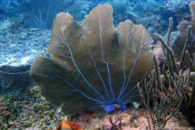 Eine Fächerkoralle