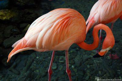 Die Flamingos im Aquarium