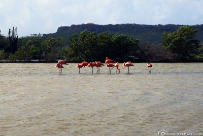 Flamingos in Curacao