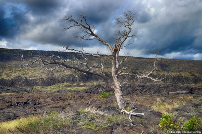 Kahler Tree in the Lava Field