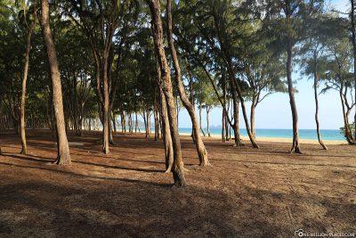Ironwood trees at Waimanalo Beach