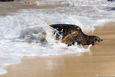 A Green Sea Turtle Comes to the Beach from the Pacific Ocean
