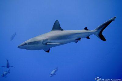 A grey shark