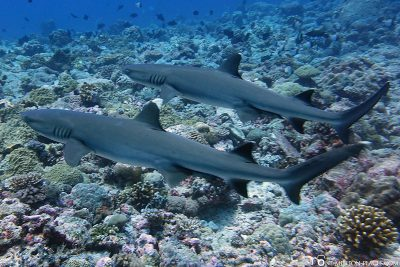 Two whitetip reef sharks
