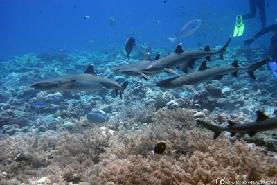 A group of whitetip reef sharks