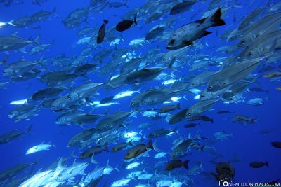 A swarm of fish