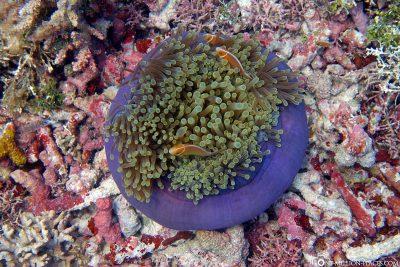 Nemos in a purple anemone