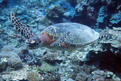 A turtle in Peleliu