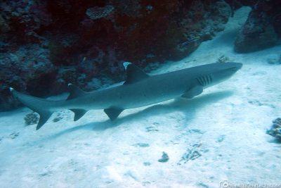 A whitetip reef shark