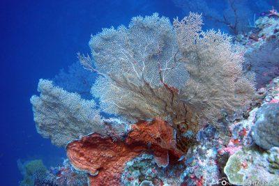 A fan coral