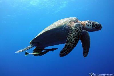 Eine auftauchende Schildkröte