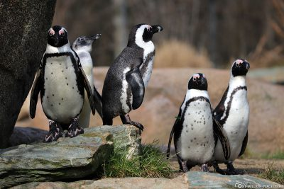 Spectacled penguins