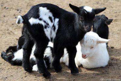 African dwarf goats