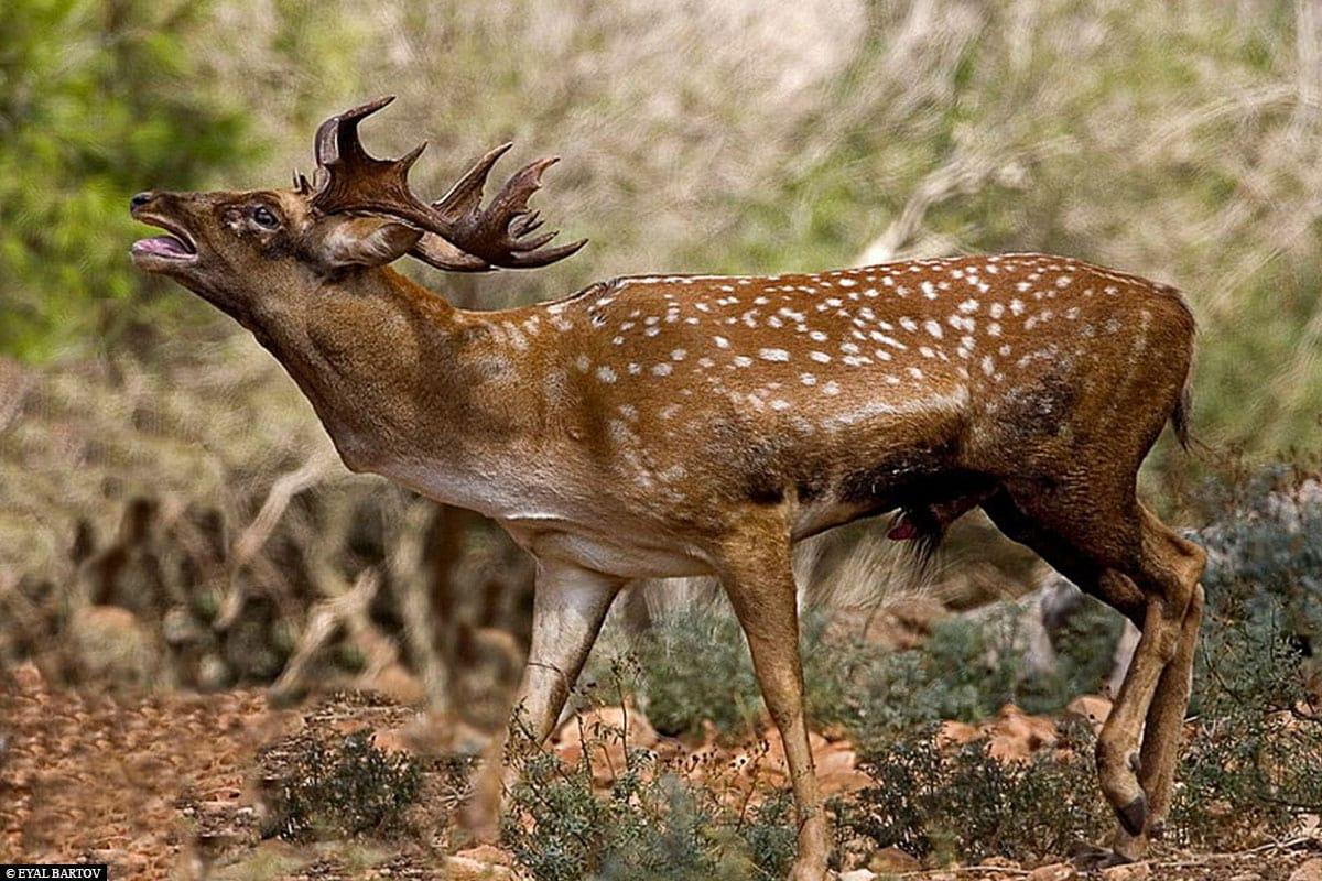 A Mesopotamian Dam Deer, Opel Zoo, Kronberg, Hesse, Germany, Visit to the Zoo