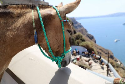 The donkeys of Fira