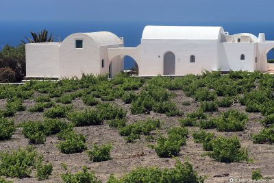Vineyards in Santorini