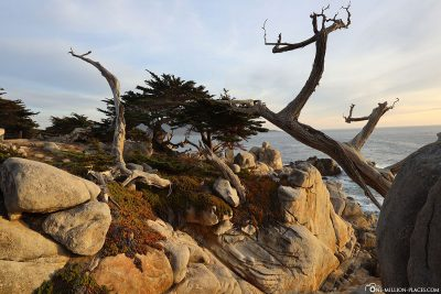 A Ghost Tree at Pescadero Point