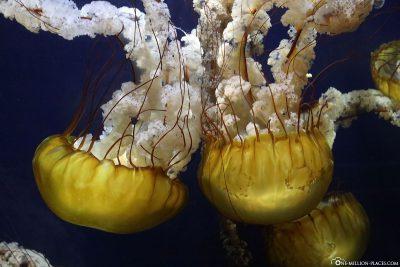 The jellyfish in the aquarium