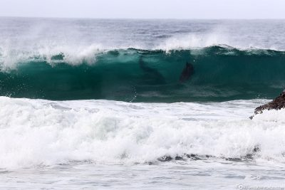 The dolphins ride in the waves