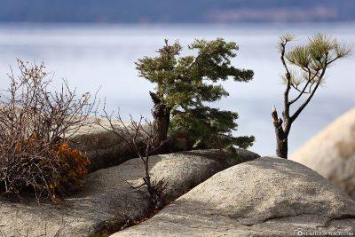 Der Bonsai Rock