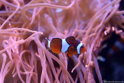 Ein Anemonenfisch