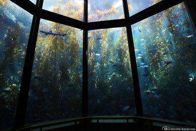 Das große Becken des Kelp Forest