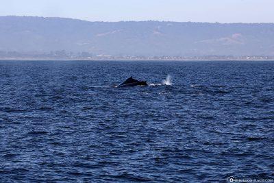 Buckelwale in der Monterey Bay