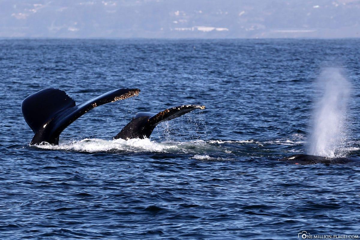 Buckelwale, Monterey Bay, Walbeobachtung, Waltour, Whalt Watching, Kalifornien, USA
