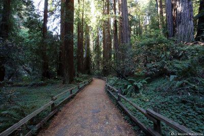 Der Wanderweg durch die Muir Woods