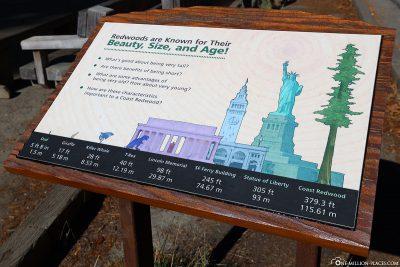 Ein Größenvergleich der riesigen Bäume