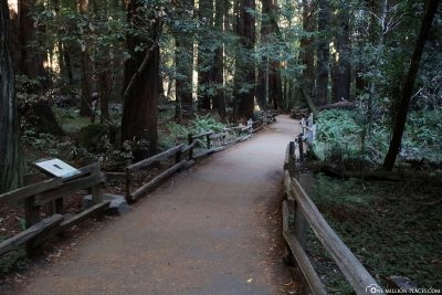 The trail through the Muir Woods