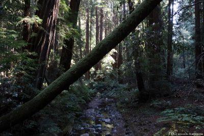 The Muir Woods