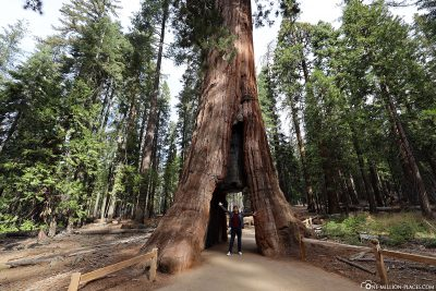 The California Tunnel Tree in Mariposa Groove