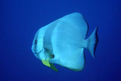 A curious batfish