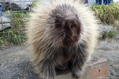 Ein Stachelschwein