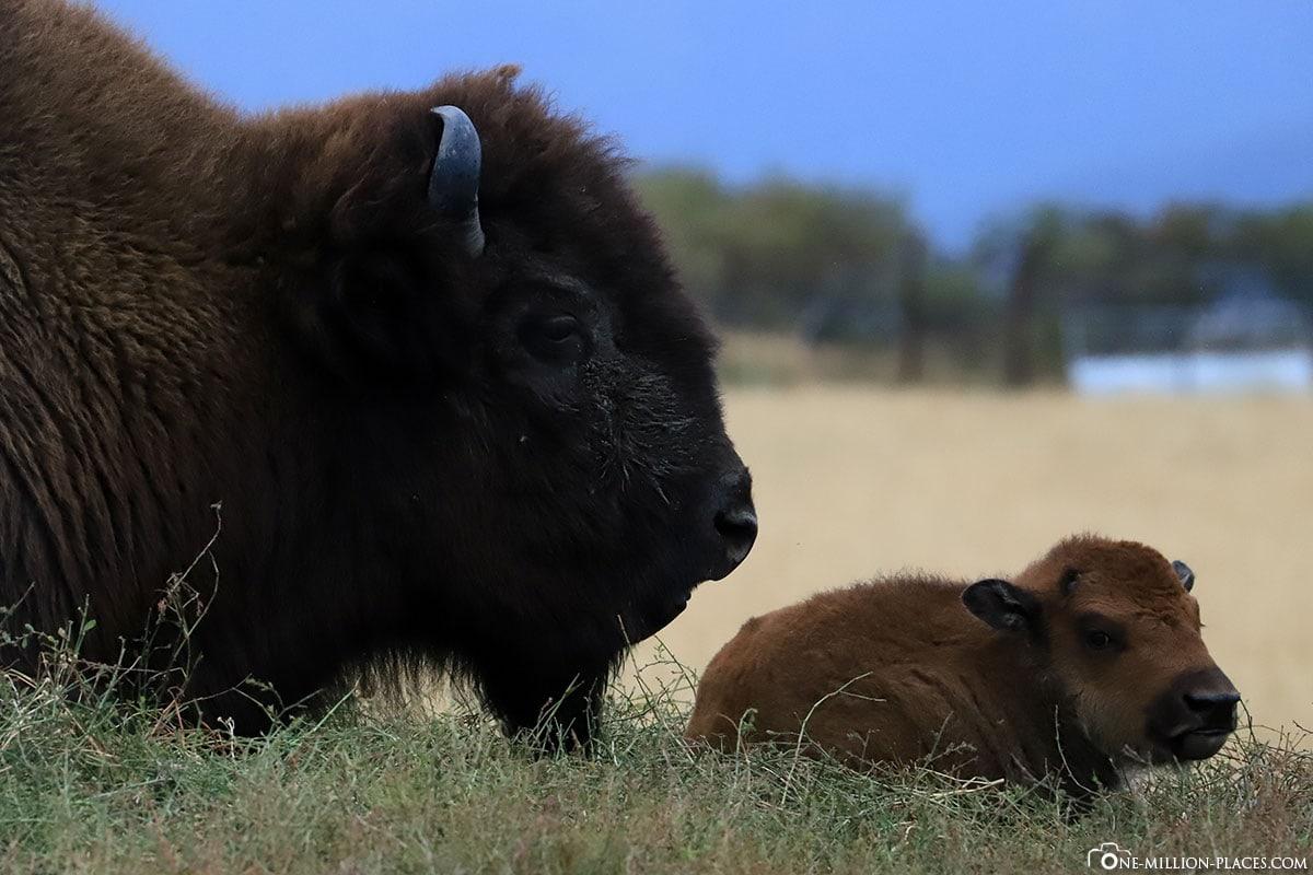 Amerikanischer Bison, Jungtier, Alaska, USA, Anchorange, Reisebericht