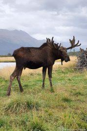 Ein Elch