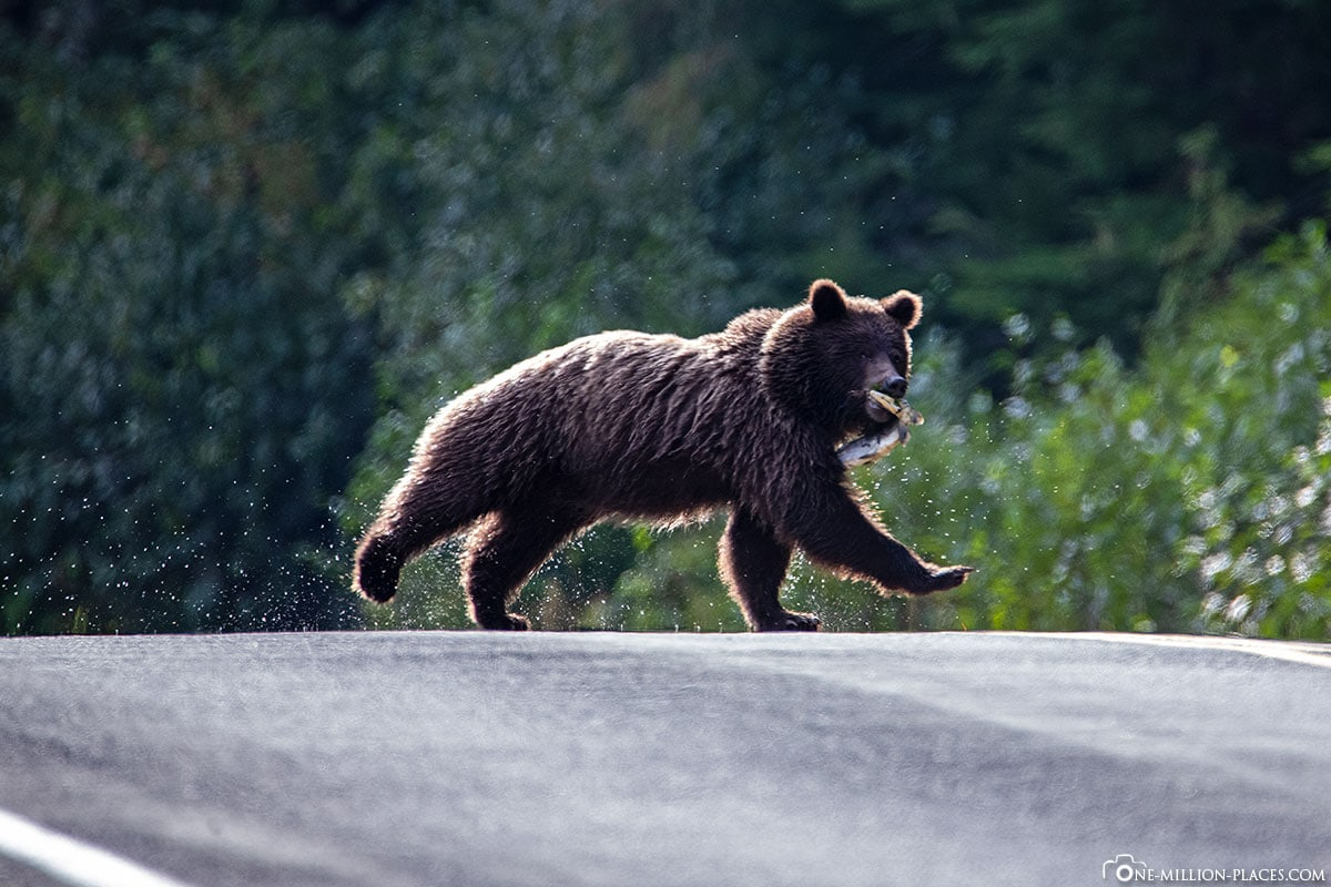 Bear with Salmon, Rennt across the Road, Alaska, Haines, USA, Travelreport
