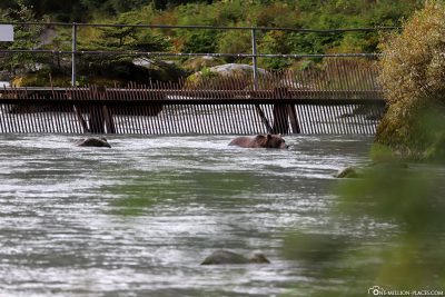 The weir for capturing the salmon population