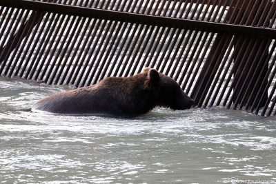 A brown bear on the weir